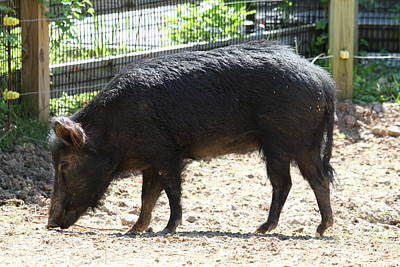 Pig Photograph - Pig - National Zoo - 01131 by DC Photographer