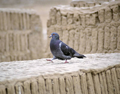 Photograph - Pigeon at Huaca Pucllana in Lima Peru by Jared Bendis