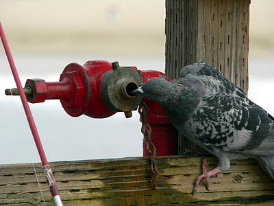 Photograph - Pigeon Drinking by Jeff Lowe
