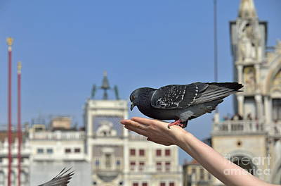 Pigeon Eating On Hand Art Print