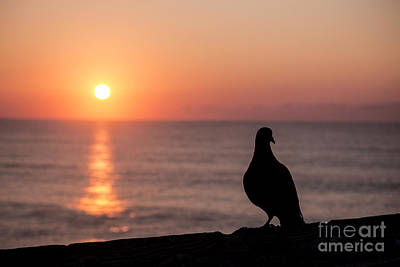 Photograph - Pigeon by Nelson Watkins