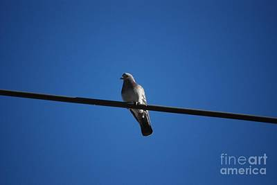 Photograph - Pigeon On A Wire by Mark McReynolds