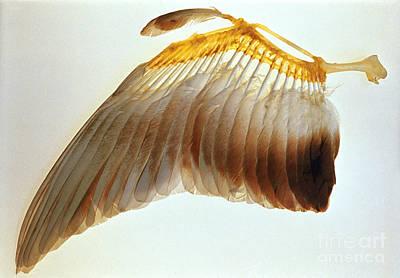 Pigeon Wing Art Print by Biophoto Associates