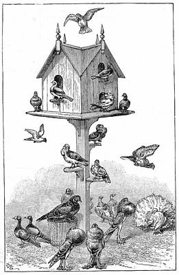 Pigeons Used By Charles Darwin Art Print by Universal History Archive/uig