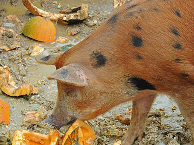 Photograph - Piggy by Nancy Griswold