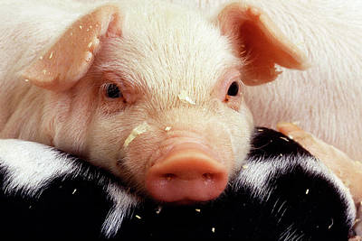 Baby Pigs Wall Art - Photograph - Piglet by Scott Bauer/us Department Of Agriculture/science Photo Library