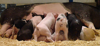 Photograph - Piglets by Paul Miller