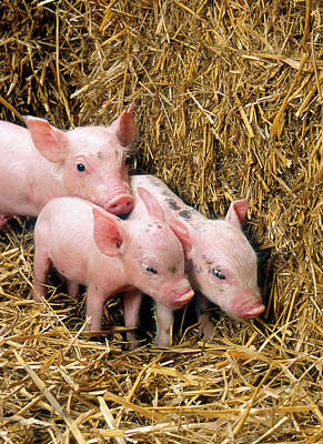 Baby Pigs Wall Art - Photograph - Piglets by Scott Bauer/us Department Of Agriculture/science Photo Library