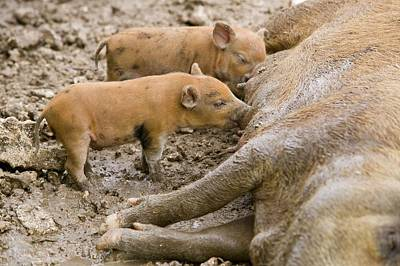 Pigs Reared For Pork On Tuvalu Art Print by Ashley Cooper