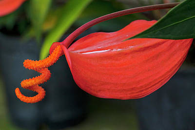 Anthurium Photograph - Pigtail Anthurium, Kula Botanical by Douglas Peebles