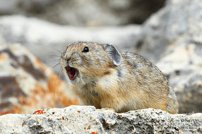 Photograph - Pika Alert by Bill Singleton
