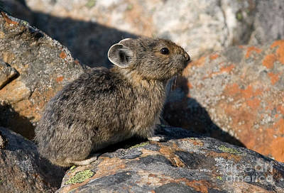 Art Print featuring the photograph Pika And Lichen by Chris Scroggins