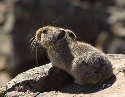 Photograph - Pika by Alyce Taylor