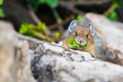 Lake Louise Photograph - Pika by Ian Stotesbury