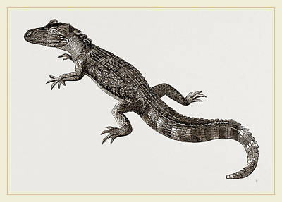 Alligator Drawing - Pike-nosed Caiman Or Alligator by Litz Collection