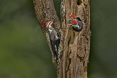 Photograph - Pilated Woodpecker Family by Susan Candelario