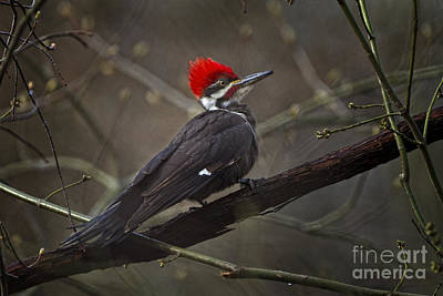 Photograph - Pileated Wood Pecker by Ronald Lutz