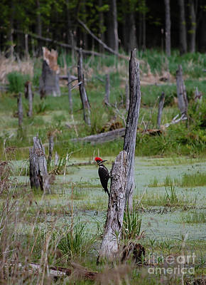 Photograph - Pileated Woodpecker by Bianca Nadeau