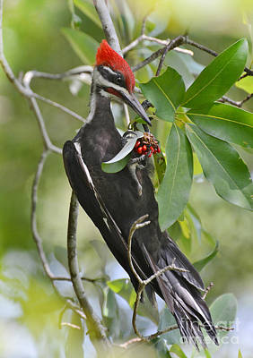 Photograph - Pileated Woodpecker by Kathy Baccari