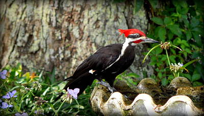 Pileated Woodpecker Art Print by Lynn Griffin