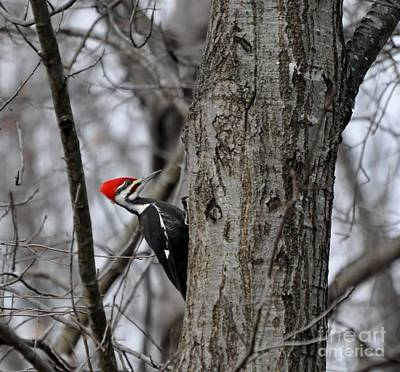Photograph - Pileated Woodpecker by Maureen Cavanaugh Berry
