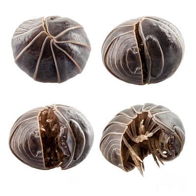 Animals Photos - Pill-bug armadillidium vulgare by Pablo Romero