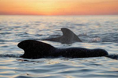 Pilot Whales At Dawn Art Print
