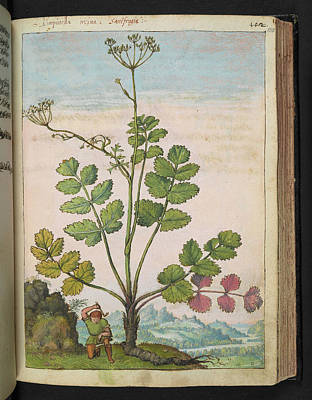 Pimpinella Saxifraga Art Print by British Library