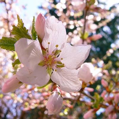 Photograph - Pin Cherry Blooms by Barbara St Jean