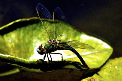Pinao The Hawaiian Dragonfly Art Print by Lehua Pekelo-Stearns