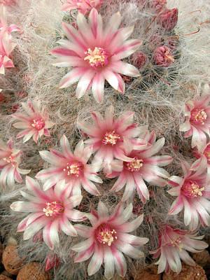 Photograph - Pincushion Cactus by Rob Huntley