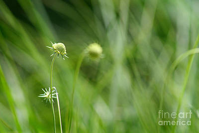 Photograph - Pincushion Flower Buds by Karen Adams