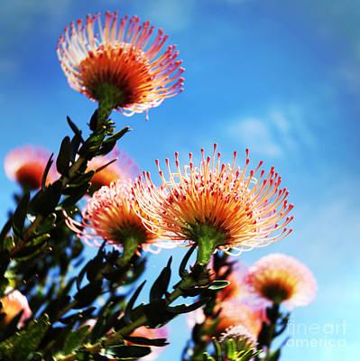 Pincushion Proteas Art Print