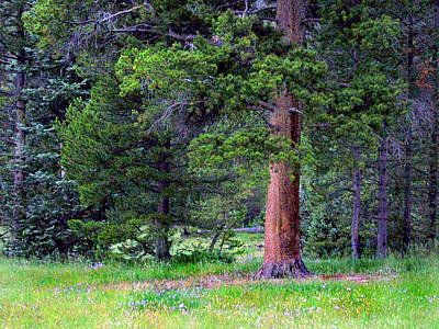 Photograph - Pine At Rocky Mountain National by Larry Capra
