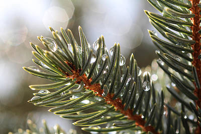 Pine Bough Dewdrops Art Print
