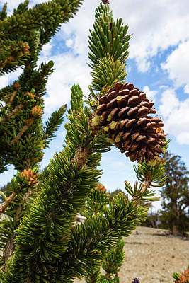 Photograph - Pine Cone Growing On A Twig, Ancient by Panoramic Images