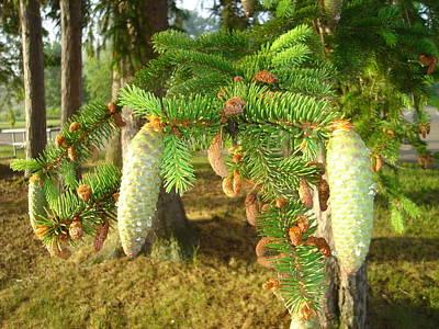Pine Cone In The Morning Original