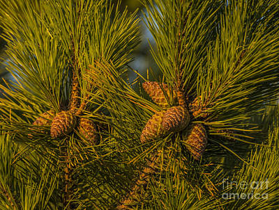 Pine Cones At Sunset Original by Ruth H Curtis
