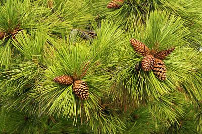 Deschutes Photograph - Pine Cones, Close Up, Deschutes by Michel Hersen