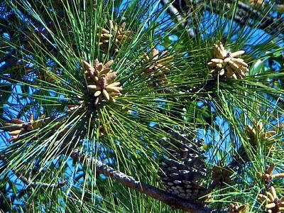Photograph - Pine Cones by Ricardo J Ruiz de Porras