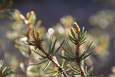 Art Print featuring the photograph Pine by David S Reynolds