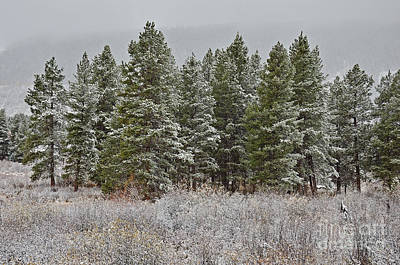 Photograph - Pine Flurries by Kelly Black