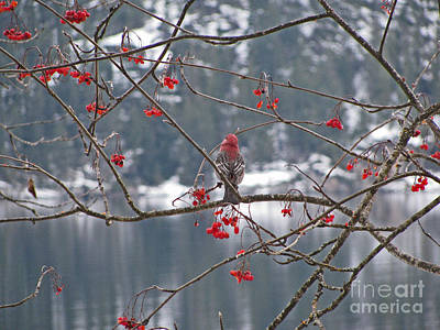 Photograph - Pine Grosbeak And Mountain Ash by Leone Lund