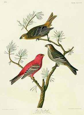 Pine Grosbeak Wall Art - Photograph - Pine Grosbeak Birds by Natural History Museum, London/science Photo Library