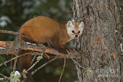 Photograph - Pine Marten by Michael Cummings