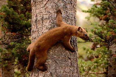Photograph - Pine Marten On A Tree by Tranquil Light  Photography
