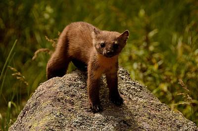 Photograph - Pine Marten  by Tranquil Light  Photography