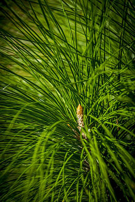 Palmetto Photograph - Pine Needles by Marvin Spates