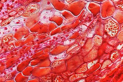 Pine Parenchyma Cells Art Print by Antonio Romero