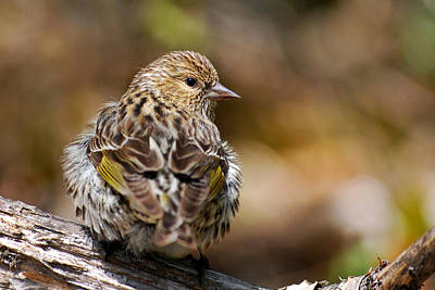 Rollos Photograph - Pine Siskin by Christina Rollo